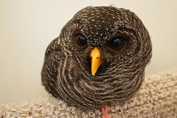 真黒な体で際立つ嘴!クロオビヒナフクロウ